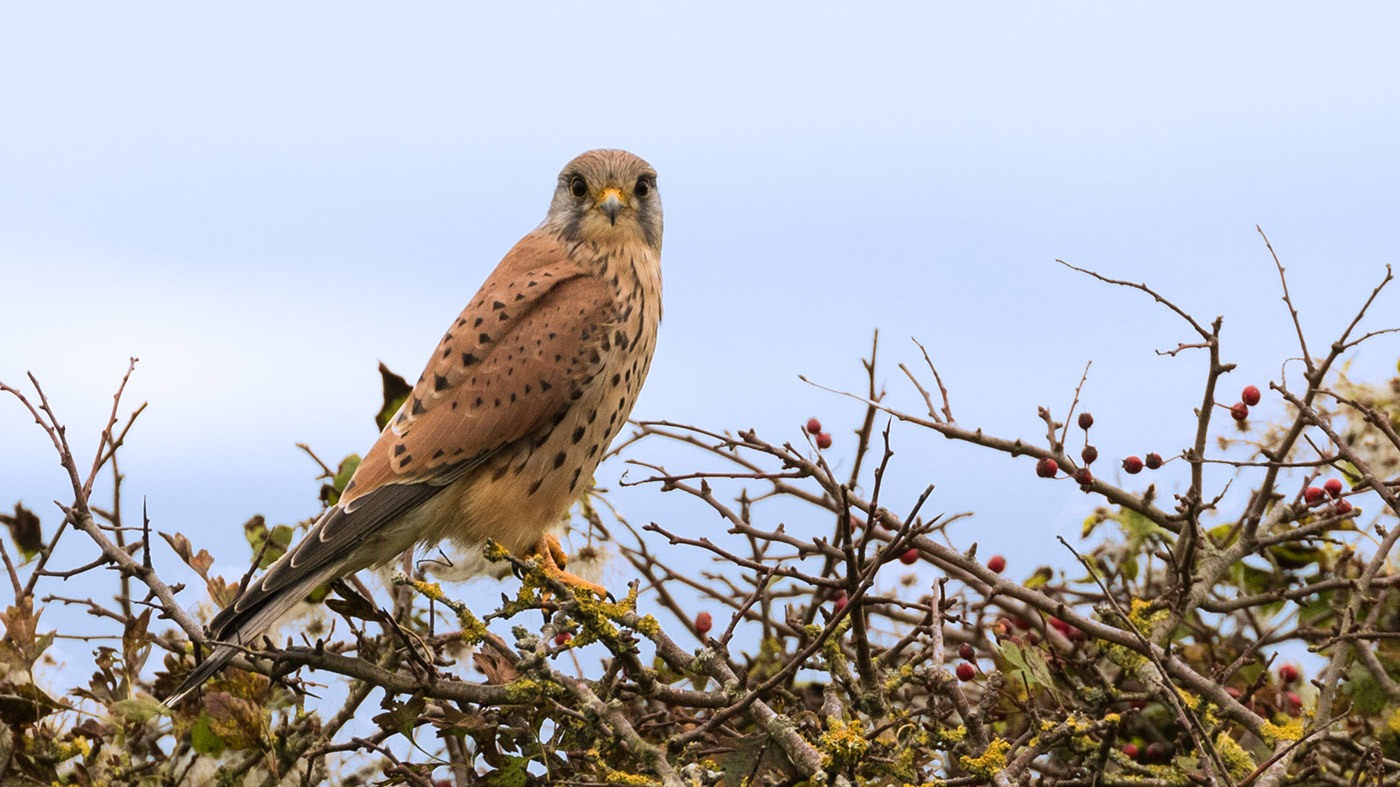 Photo of Kestrel at Dulrston country park