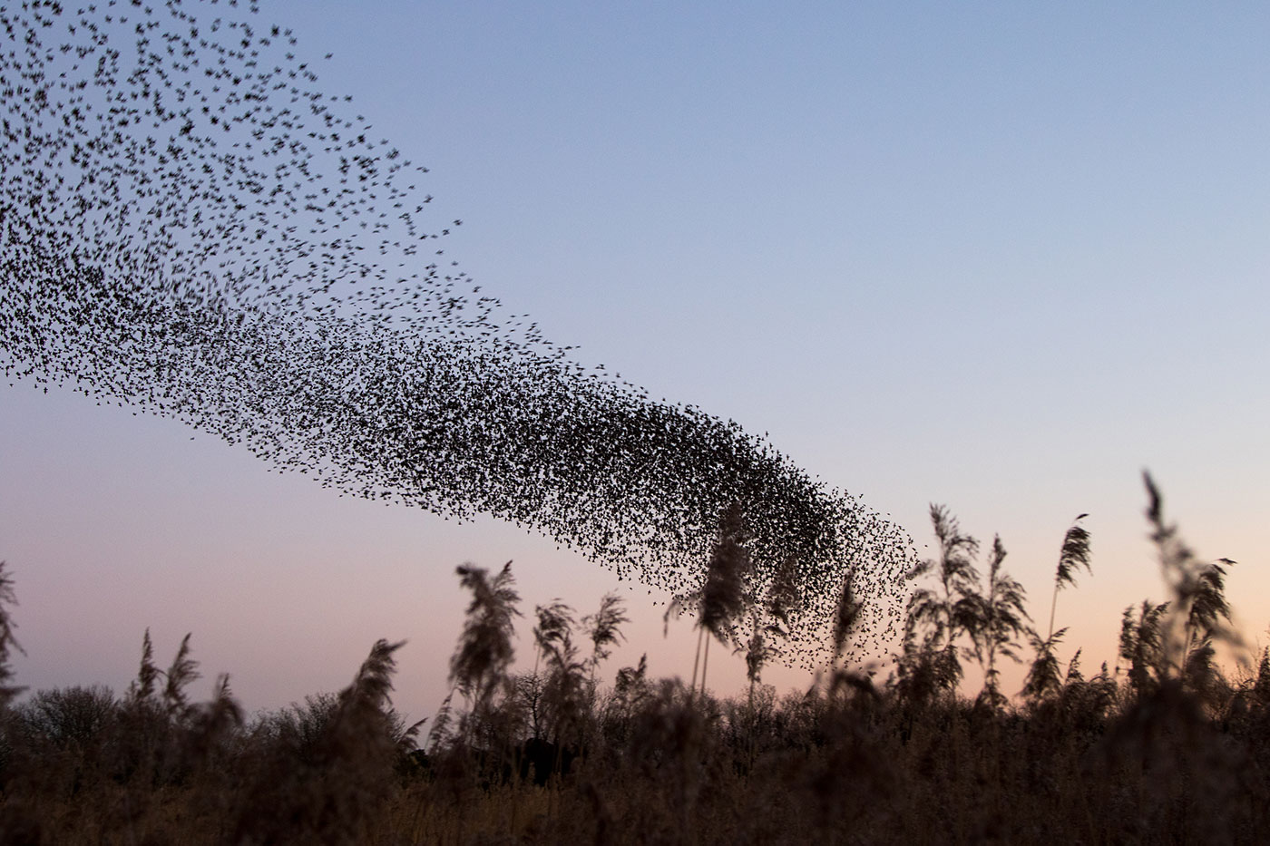 Photo of Murmurating starlings